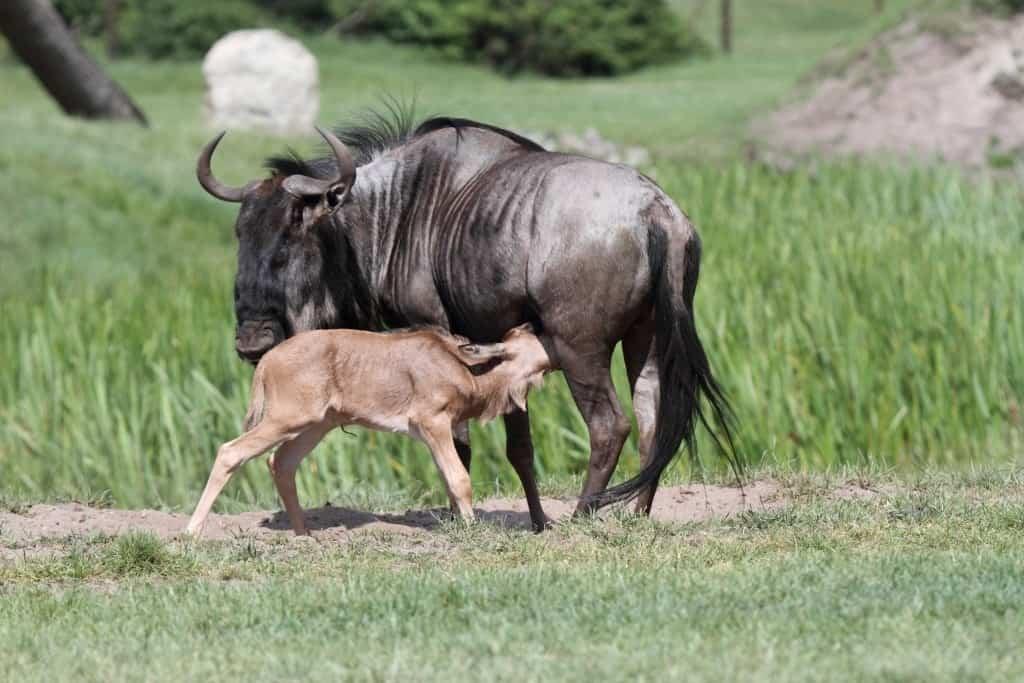 Streifengnunachwuchs saugt bei der Mutter, Foto: Serengeti-Park Hodenhagen 2016
