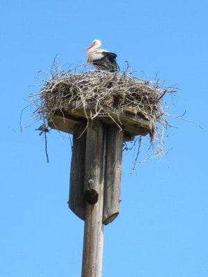 Weißstorch auf Storchennest im Wendland