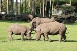 Südliche Breitmaulnashörner im Serengeti-Park. Hier wurde im letzten Jahr das 48. Breitmaulnashorn geboren. Foto: Serengeti-Park Hodenhagen