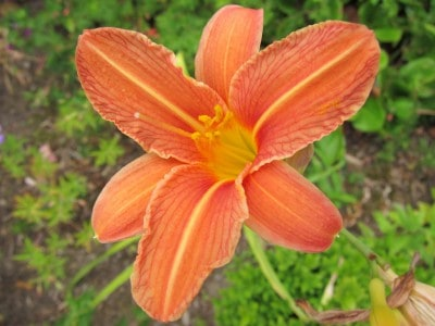 orange blühende Taglilie (hemerocallis)