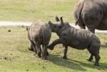 Bildergalerie Nashornjunge im Serengeti-Park in Hodenhagen