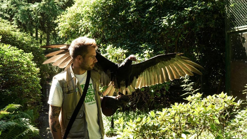 Tiertrainer Lech Bretschek mit dem Truthahngeier Miss Marple Foto: Weltvogelpark Walsrode