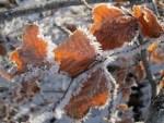 Trockene Buchenblätter mit Raureif vor Schnee