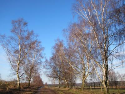 Birken am Weg auf dem Tütsberg im Winter