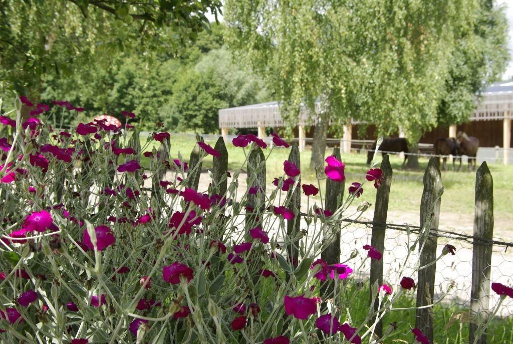 Vexiernelken im Sommergarten Foto: FLMK