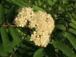 Blühende Vogelbeere (Sorbus aucuparia)