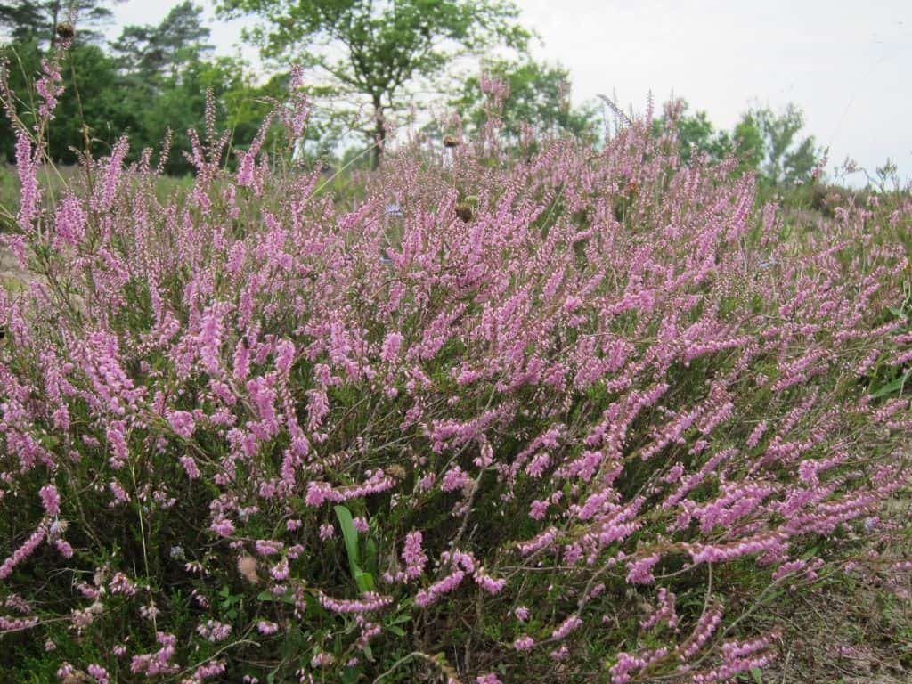Blühende Besenheide (Calluna vulgaris)