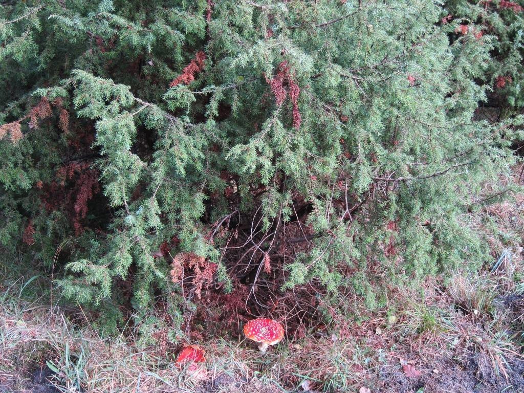 Wacholder mit Fliegenpilzen (Amanita muscaria) auf dem Lüßberg im Lüßwald im Kreis Uelzen.