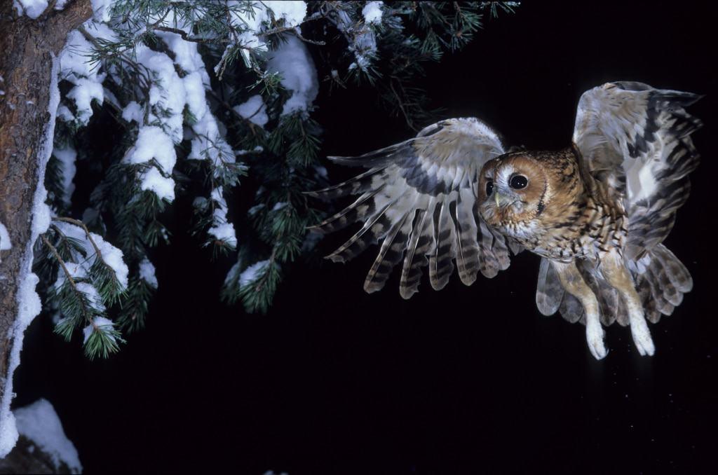 Vogel des Jahres 2017: Waldkauz– Foto: NABU/Dietmar Nil