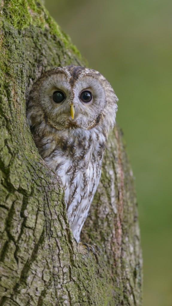 Waldkauz, Strix aluco, Tawny Owl - Vogel des Jahres 2017: Waldkauz– Foto: NABU/Christoph Bosch