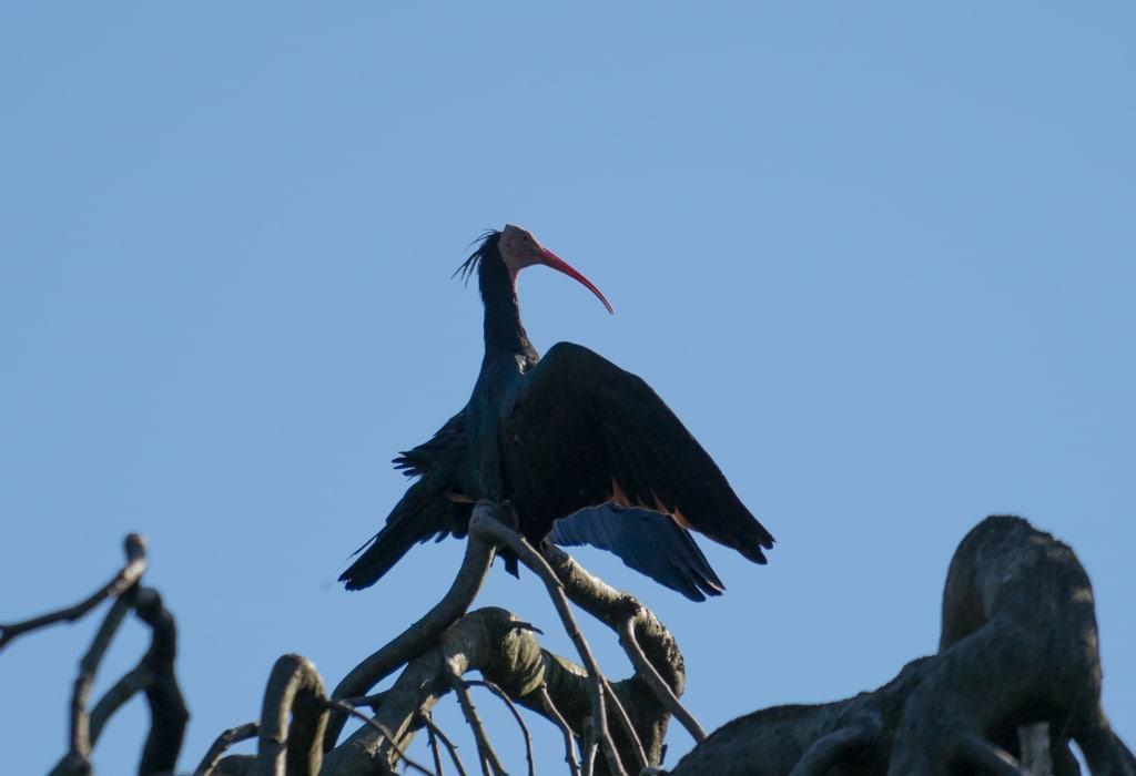 Der Waldrapp breitet die Flügel aus, um sich Abkühlung zu verschaffen. Foto: Weltvogelpark Walsrode