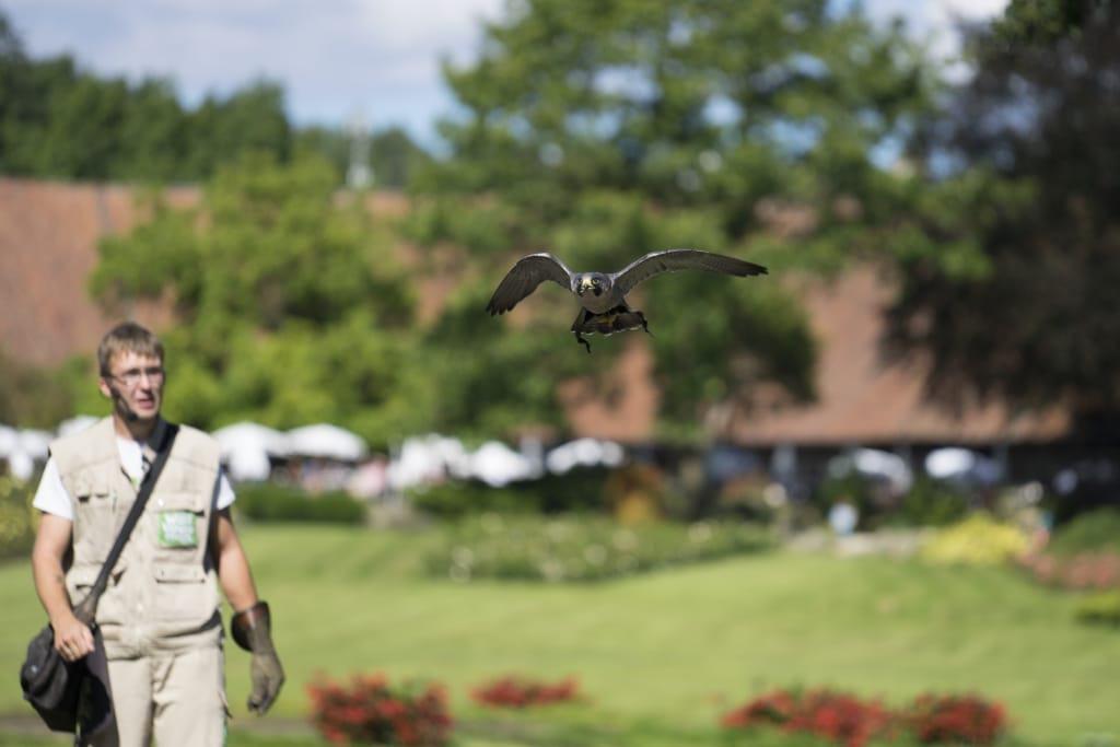 Die neue Flugshow zeigt große und kleine Vögel - hier einen Wanderfalken. Foto: Weltvogelpark Walsrode