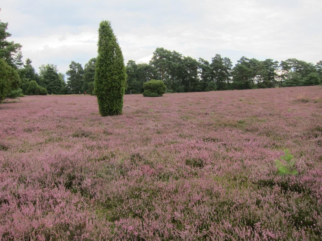 In der Misselhorner Heide, Naturpark Südheide zur Heideblüte