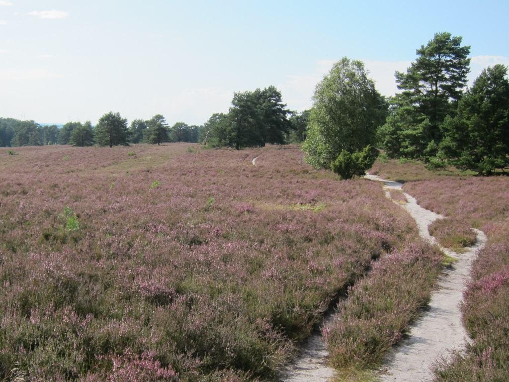 Blühendes Heidekraut im Sonnenschein - am Heidschnuckenweg durch die Misselhorner Heide in Kreis Celle