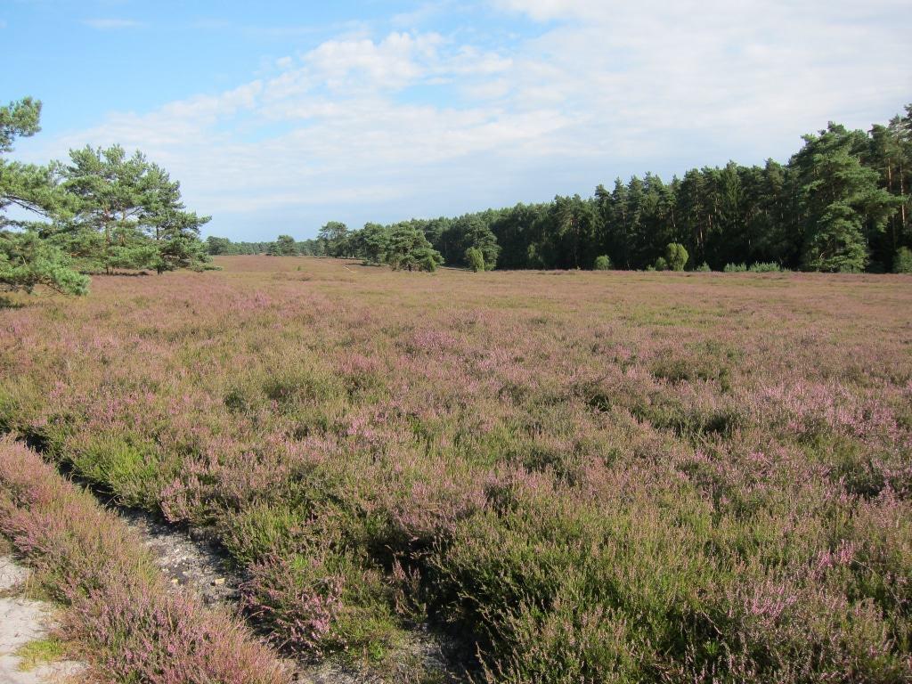Auch der Jakobsweg führt durch diese Heideflächen in der Misselhorner Heide.