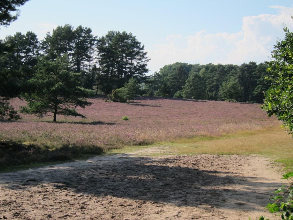 Kiefern Eichen, Wacholder und blühendes Heidekraut in der Misselhorner Heide