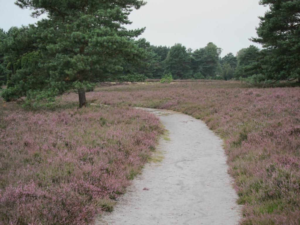 Wanderung auf dem Heidepanoramaweg in der Misselhorner Heide zur Heideblüte.