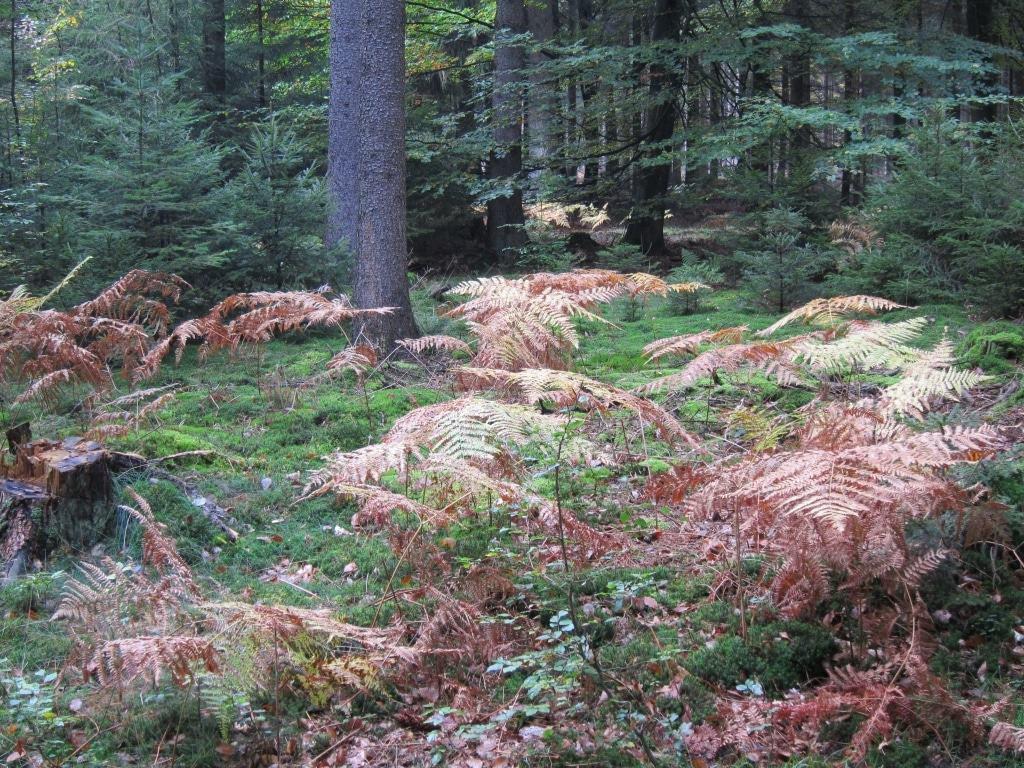 """Farne im Herbstwald am Wanderweg """"Der Urwald im Lüß"""" im Kreis Celle"""