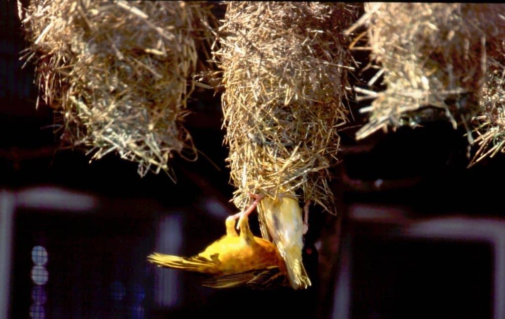 Webervögel beim Nestbau. Foto: Weltvogelpark Walsrode