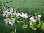 Weißdorn-Blüten (Crataegus)