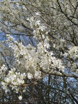Weißdornblüten (Crataegus)
