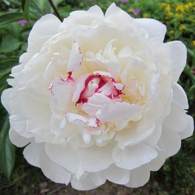 Blüte einer weißen Pfingstrose