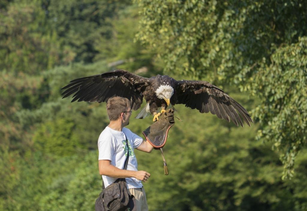 In der völlig neu konzipierten Flugshow können Besucher nun auch Weißkopfseeadler Lady bestaunen. Foto: Weltvogelpark Walsrode