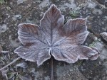Welkes Ahornblatt mit Raureif auf Pflastersteinen