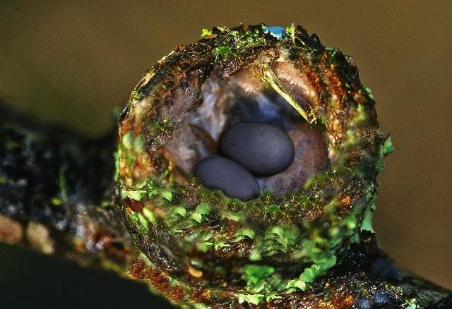 Nest mit schwarzen Flughundeiern Foto: Weltvogelpark Walsrode