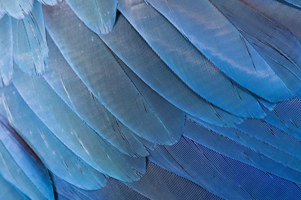 Federkleid des Gelbbrustaras Foto: Weltvogelpark Walsrode