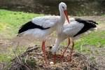 Die männlichen Störche bereiten das Nest für ihre Weibchen vor. Foto: Weltvogelpark Walsrode