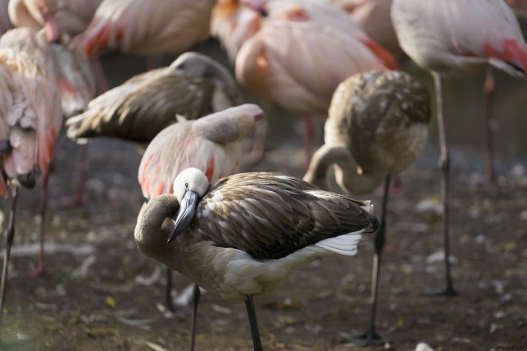 Bei den Rosaflamingos ist die Jungvogelaufzucht Gemeinschaftssache. Foto: Weltvogelpark Walsrode