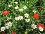 Wildblumen am Feldrand mit Mohn