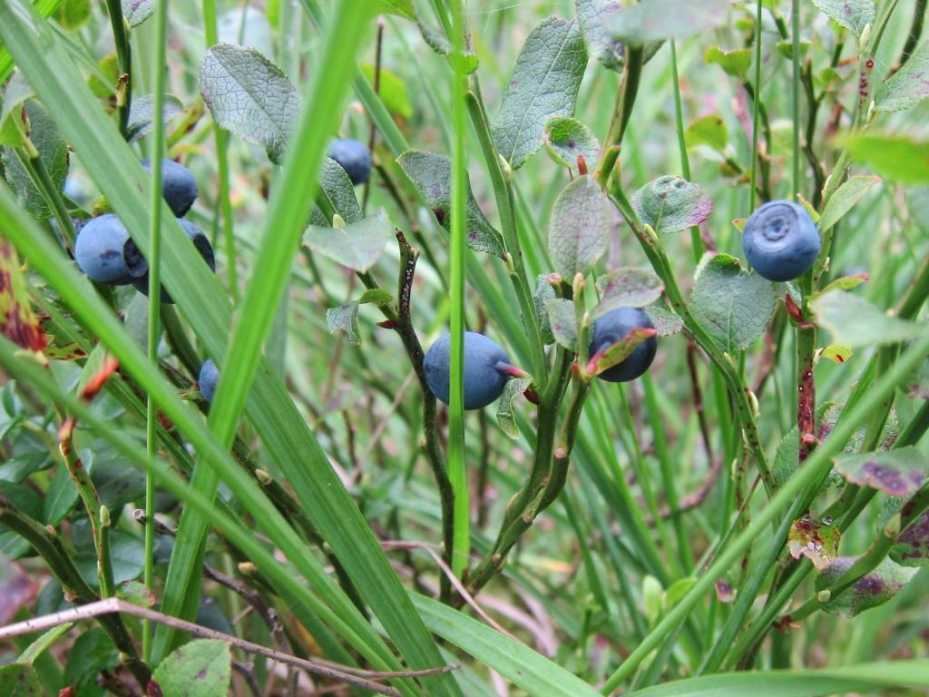 Reife wilde Blaubeeren (Heidelbeeren) in der Misselhorner Heide