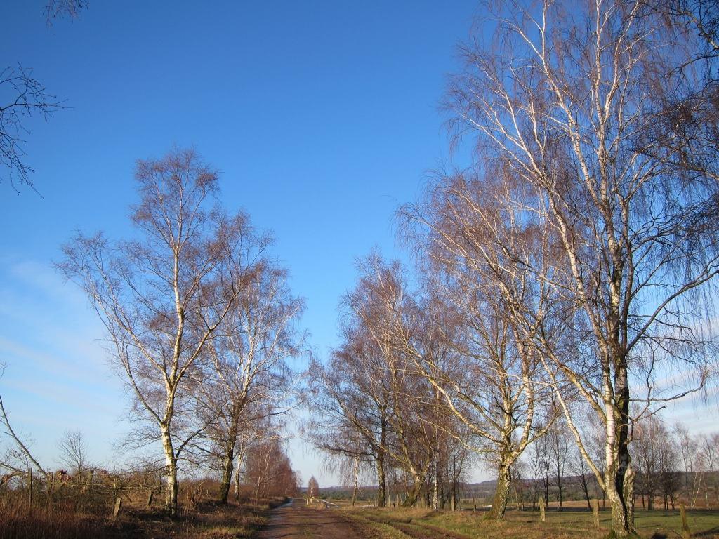 Wintertag in der Heide - Birkenalle im Sonnenschein