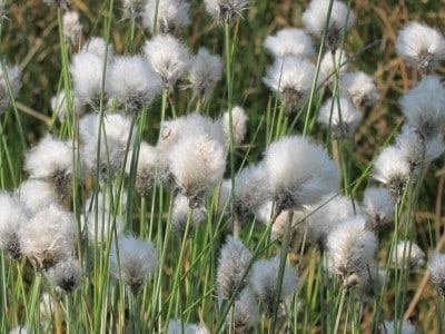 Wollgrasblüte im Pietzmoor - Fruchtstände des Wollgrases