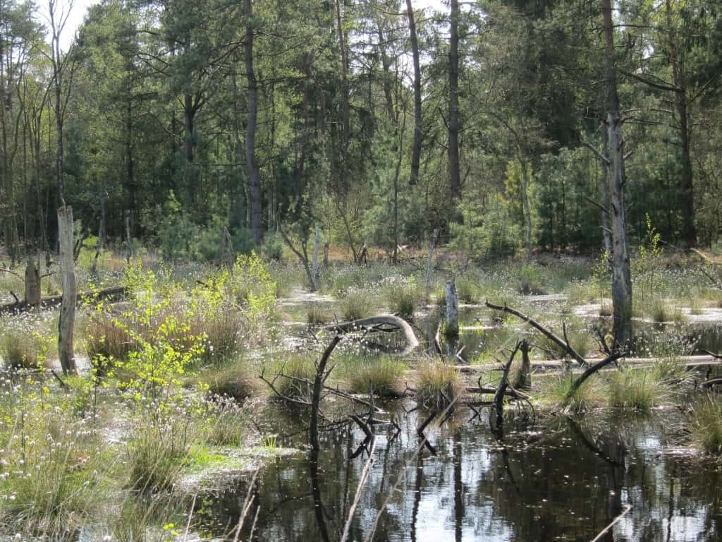 Wasserfläche im Tister Bauernmoor mit abgestorbenen Bäumen, jungen Birken und blühendem Wollgras im Mai