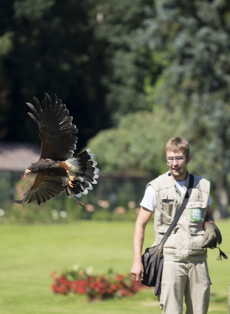 Auf dem amerikanischen Kontinent beheimatet ist der Wüstenbussard. Foto: Weltvogelpark Walsrode