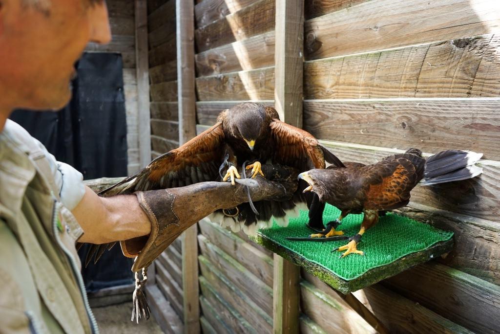 Einzigartig: Wüstenbussarde jagen in der Gruppe. Foto: Weltvogelpark Walsrode