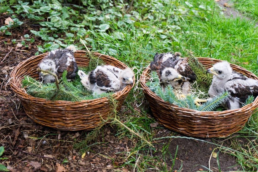 Etwa sechs Wochen alt sind die vier Wüstenbussard-Babys im Weltvogelpark Walsrode. Foto: Weltvogelpark Walsrode
