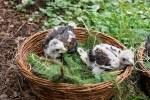 Vierlinge im Vogelpark: Weltvogelpark-Walsrode-Tiertrainer begeistert über Wüstenbussard-Babys